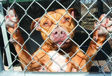 BARBARAELLEN KOCH PHOTO | Reko, a 5-year-old male American Staffordshire Terrier, has been at the Riverhead Town Animal Control shelter since Dec. 30.