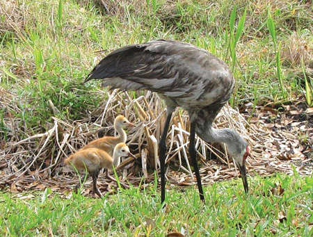These two little sandhill crane chicks try to keep up with their parent, who's teaching them to feed on their own.