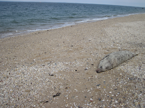 COURTESY PHOTO | The body of a female gray seal was found on a Southold Town beach Saturday morning.