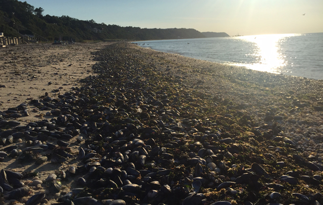 While the photo at the top shows the view east toward Iron Pier Beach, this shows just how many mussels had washed ashore to the west heading toward United Riverhead Terminal. (Credit: Grant Parpan)