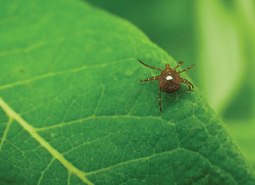 Lone star ticks are known to spread Rocky Mountain fever. (Credit: Cornell Cooperative Extension)